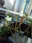 My favourite Frangipani flower at the pool